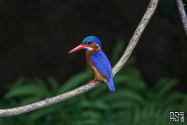 Malachite kingfisher (Corythornis cristatus) by Azph