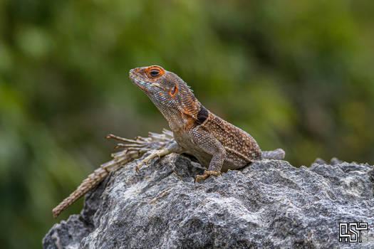 Madagascan collared iguana (Oplurus cuvieri)
