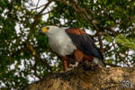 African fish eagle (Haliaeetus vocifer) by Azph