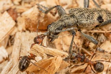 Bug fight by Azph