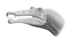 Spinosaurus Skull: 2007 Version