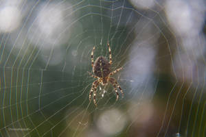 176/365: Cross Orb Weaver by ChronophasiaJK