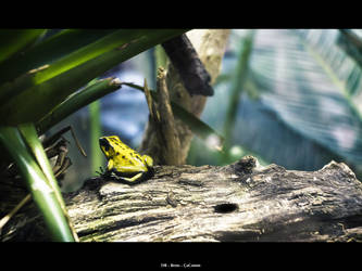 Yellow frog by Reno-Cacomm