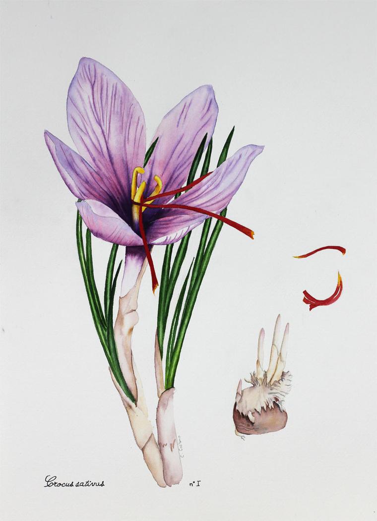 Crocus sativus by Noomelo