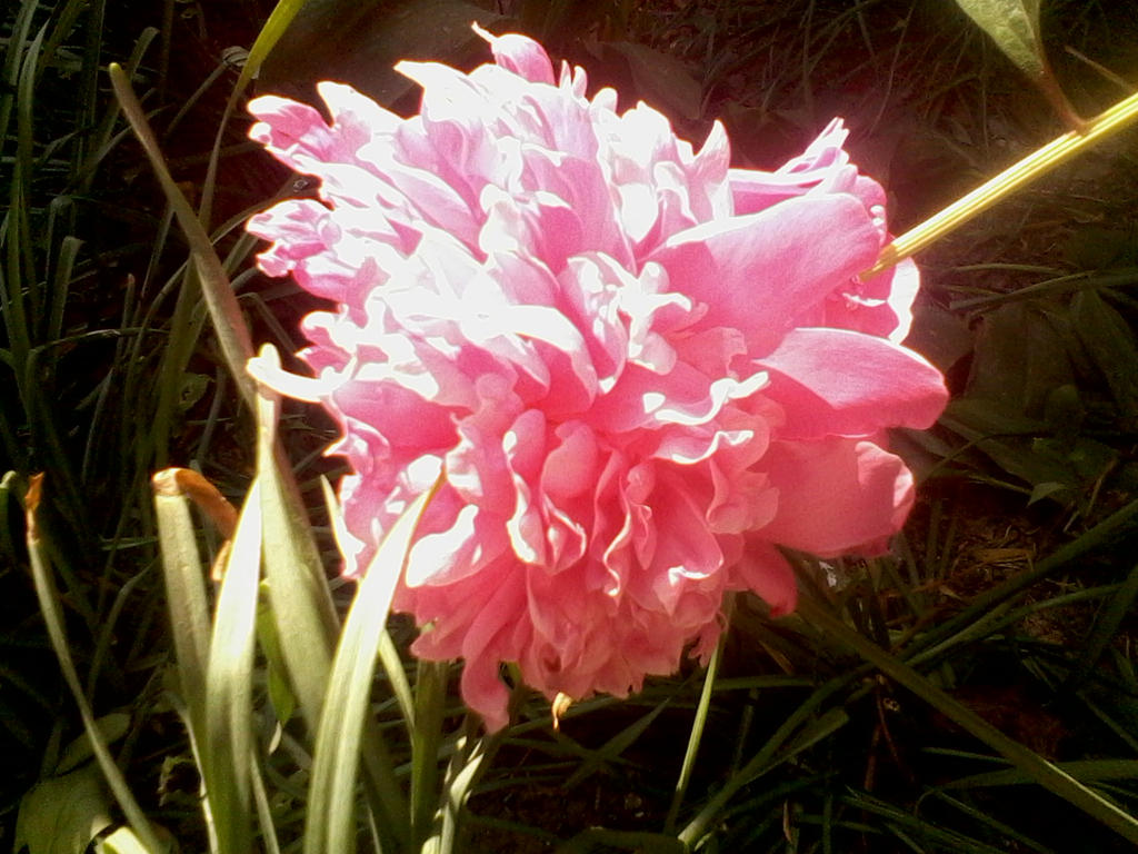 Peony bloom by luckynyan4