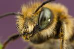 Mason Bee 2 by Abovelifesize