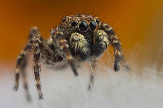 Jumping Spider 3