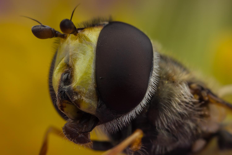 Hoverfly Portrait by Abovelifesize