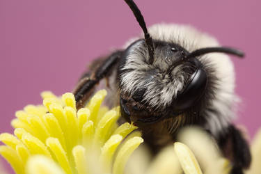 Solitary Bee by Abovelifesize