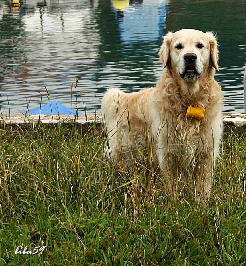 golden retriever by biba59