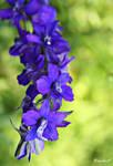 purple by biba59
