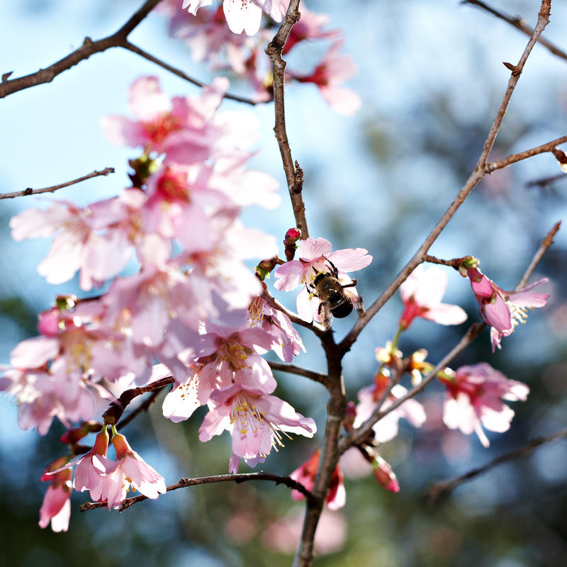 Cherry Blossoms by comp