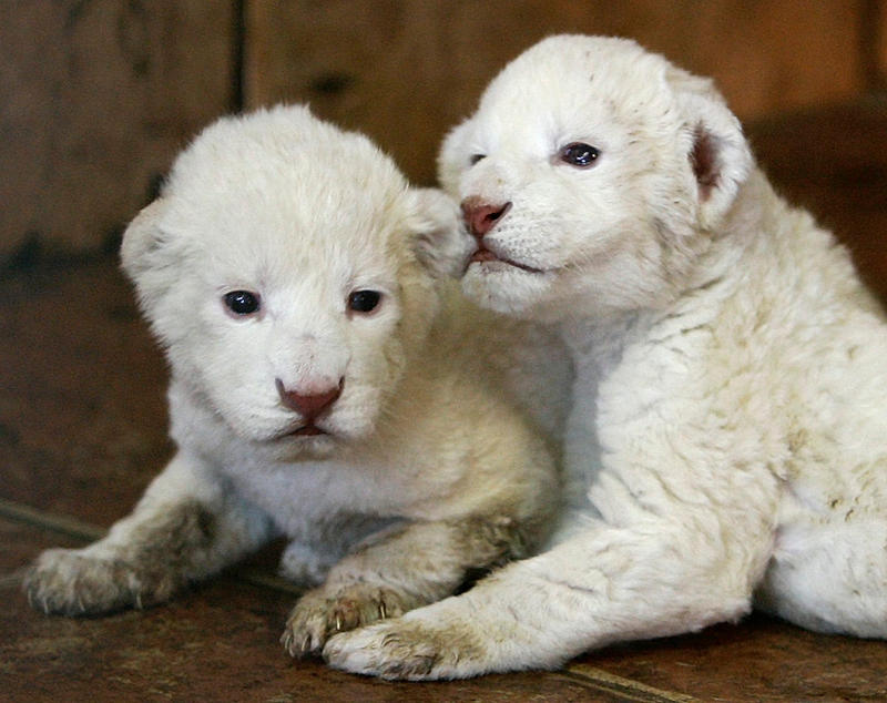 cute baby white lions - photo #14
