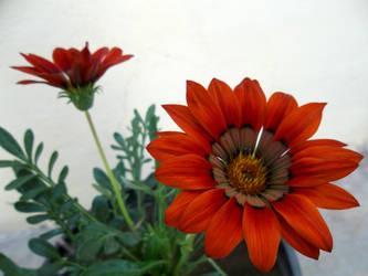 Flor Roja by cuentalatina