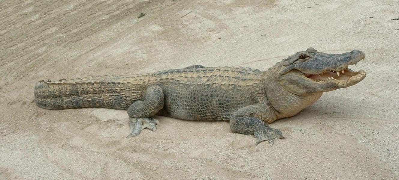 Image result for aligator