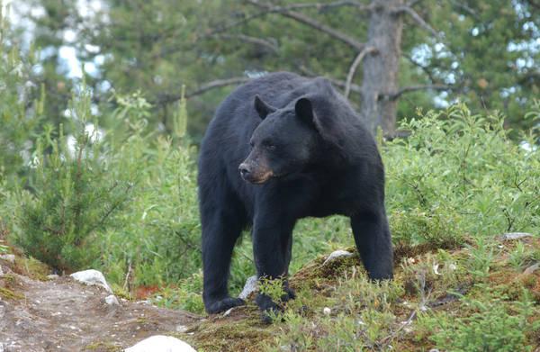 Black bear by Mika3B