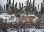 A day of the caribou trip