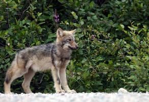 Wolf puppy by Mika3B