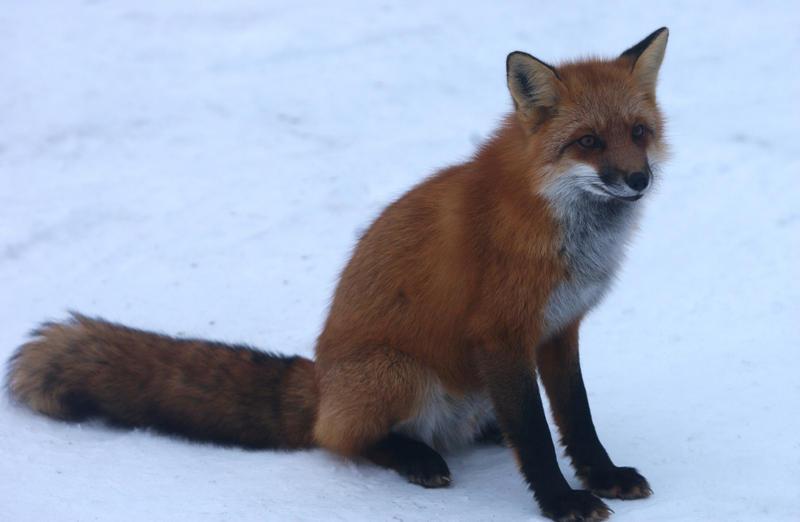 Fox attitude