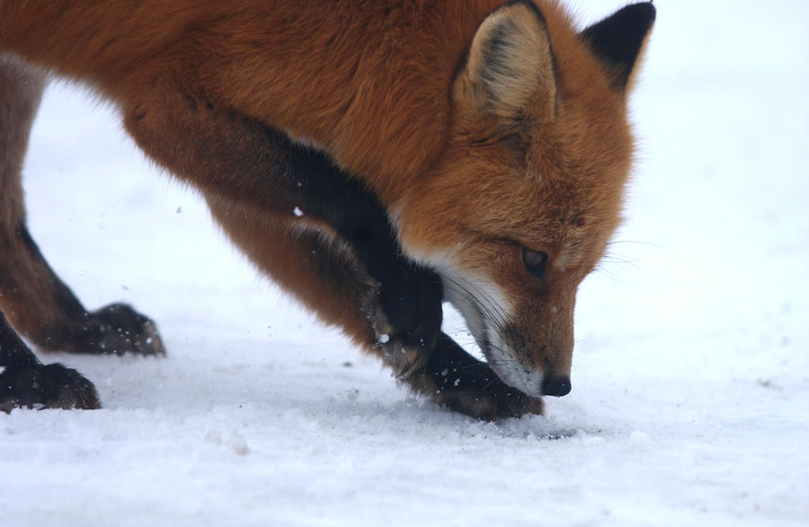 Fire fox is searching