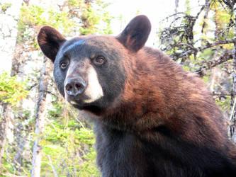 Black bear in the morning