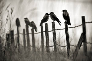 Crows by sampok