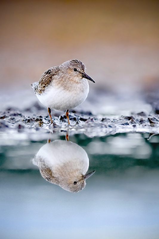 Temminck's Stint II by sampok