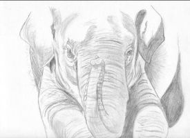 Elephant Drawing by megthebest