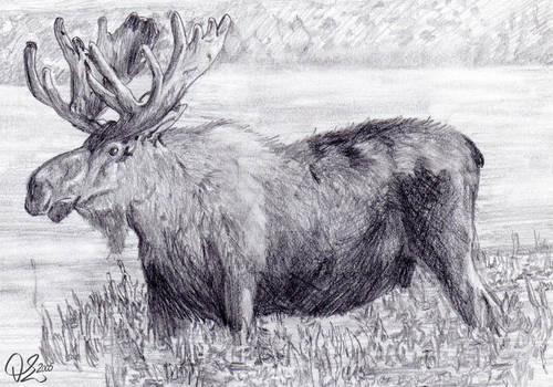Animals: Moose
