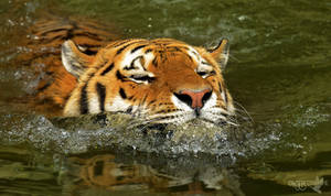 Swimming Tiger by NFB-Fotografie