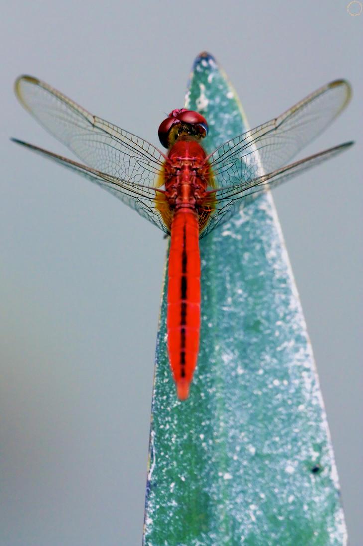 Frostfire Dragonfly by AjDev
