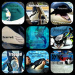 Captive Orcas are...