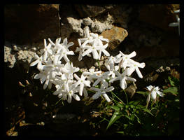 White Stary Flowers by bibiana-tenebra