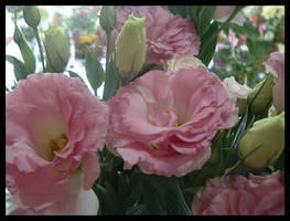 Pink Lisianthus by bibiana-tenebra