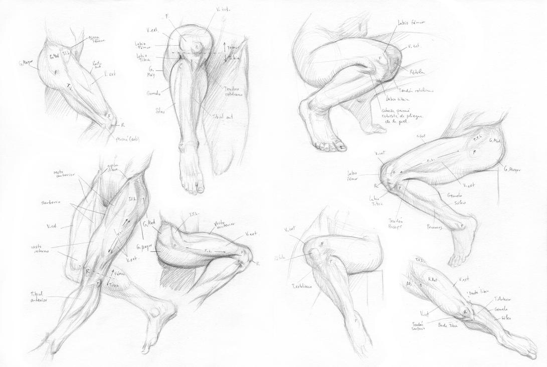 More leg and knee anatomy by Almayer