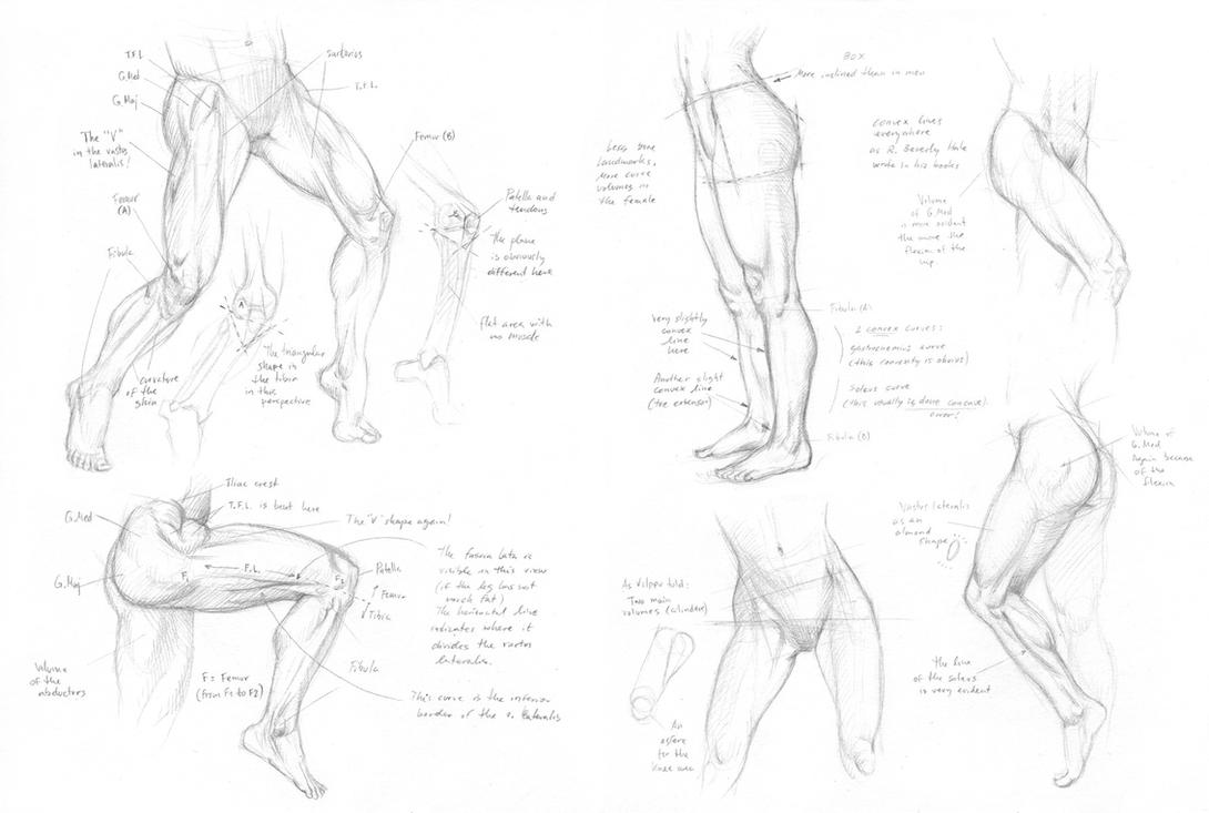 Some more leg anatomy by Almayer on DeviantArt