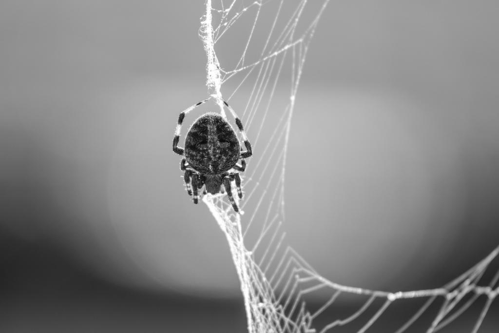 Hentz Orbweaver BW by StacySPhotography