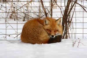 Red Fox by Renard47