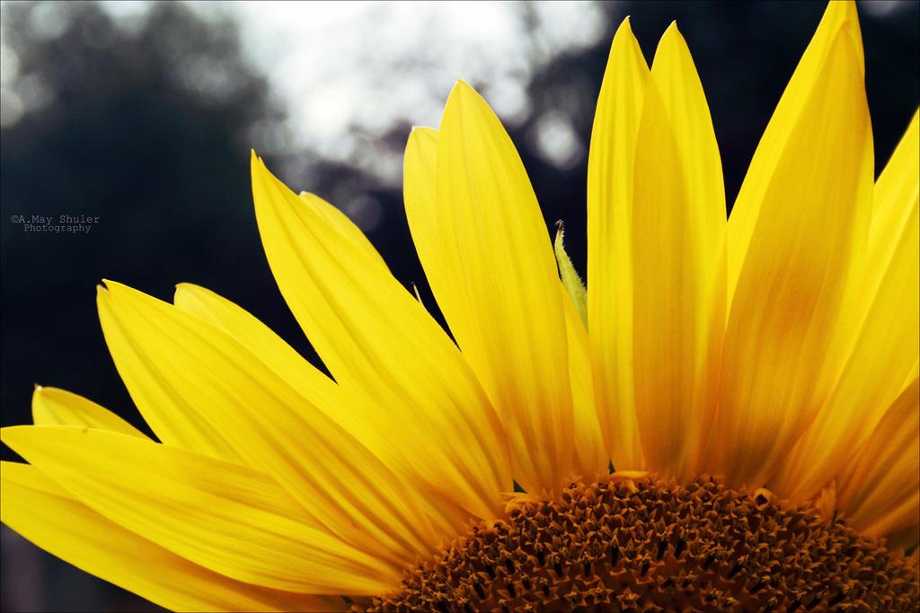 'Sunflower Peek' by AMayShulerphotogrphy
