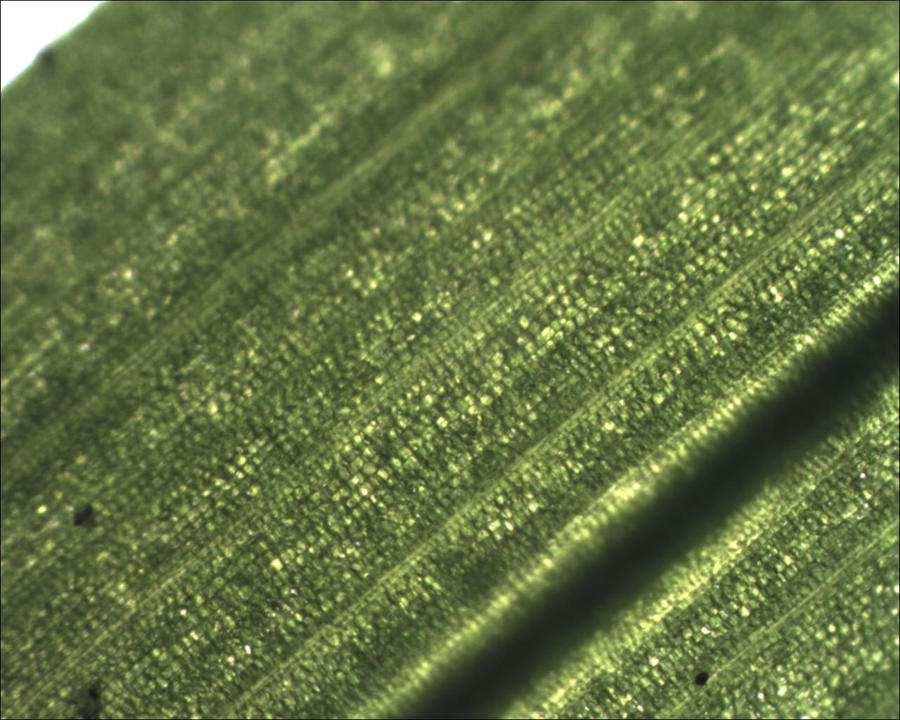 Microscope: Grass Blade by Soldeen111