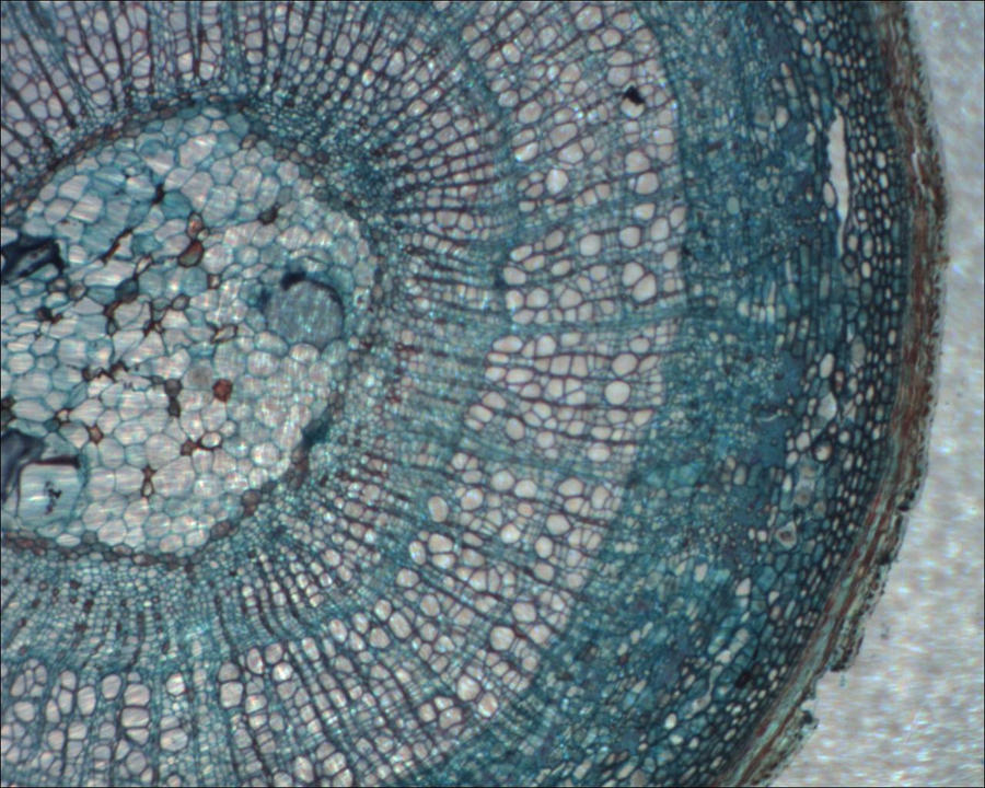 Microscope: Limewood Stem by Soldeen111