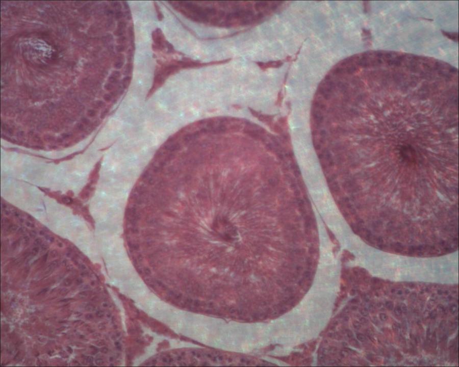 Microscope:Rabbit Testis Closer by Soldeen111