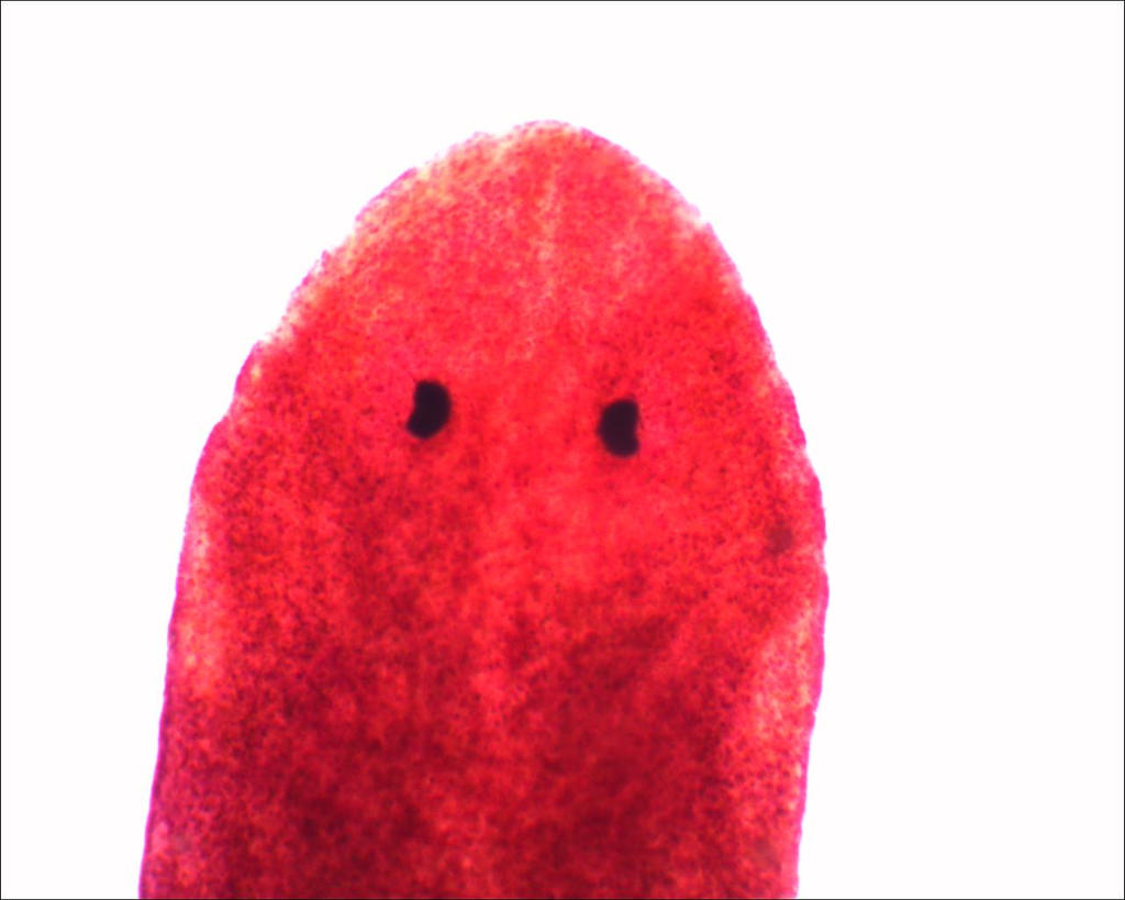 Microscope: Planaria (Flatworm) Head by Soldeen111