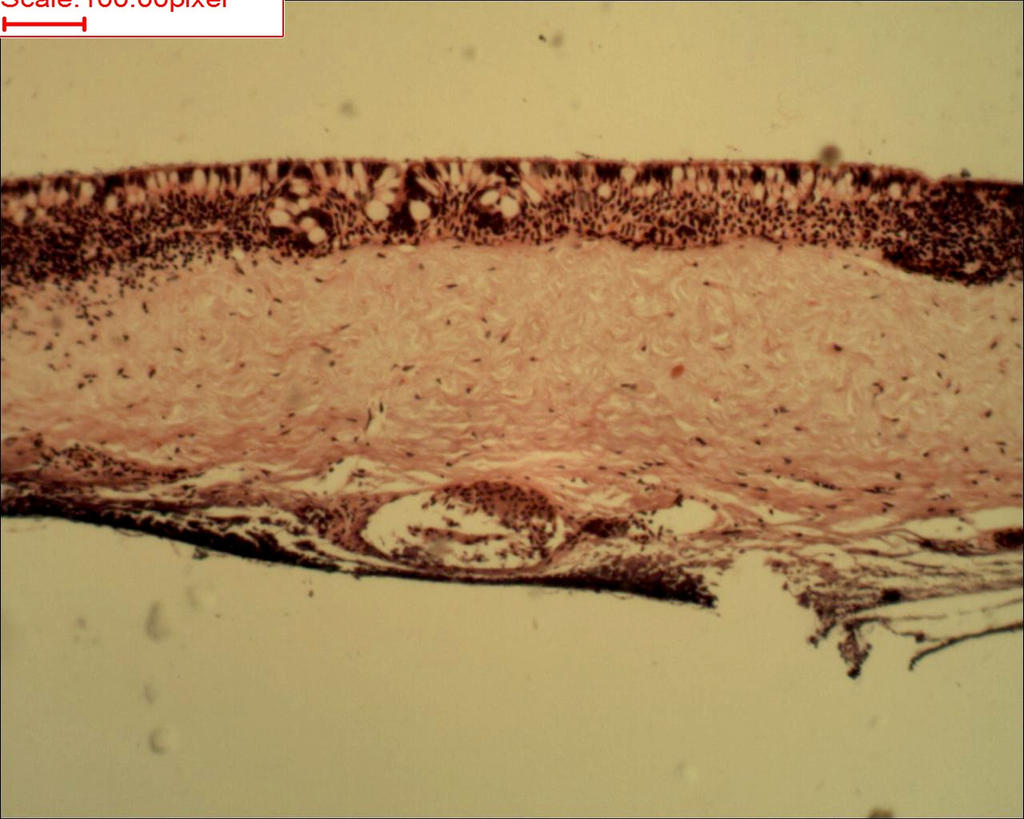 Anodota gills Cilliated epithelium by Soldeen111