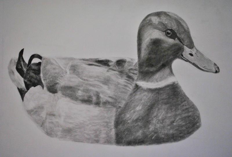 Mallard Duck Pencil Drawings