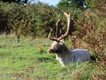 Fallow deer Buck coloured like sheep by ak1508