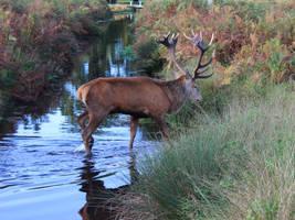 Red deer stag crossing