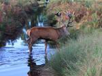 Red deer stag crossing by ak1508