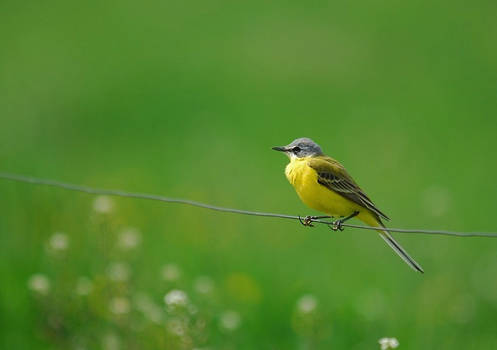 Yellow Wagtail,Motacilla flava