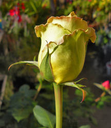 Saint Patrick's Rose by creativemikey